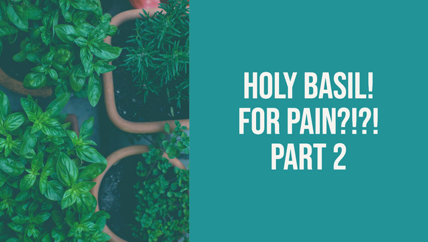 Holy basil helps pain management part 2